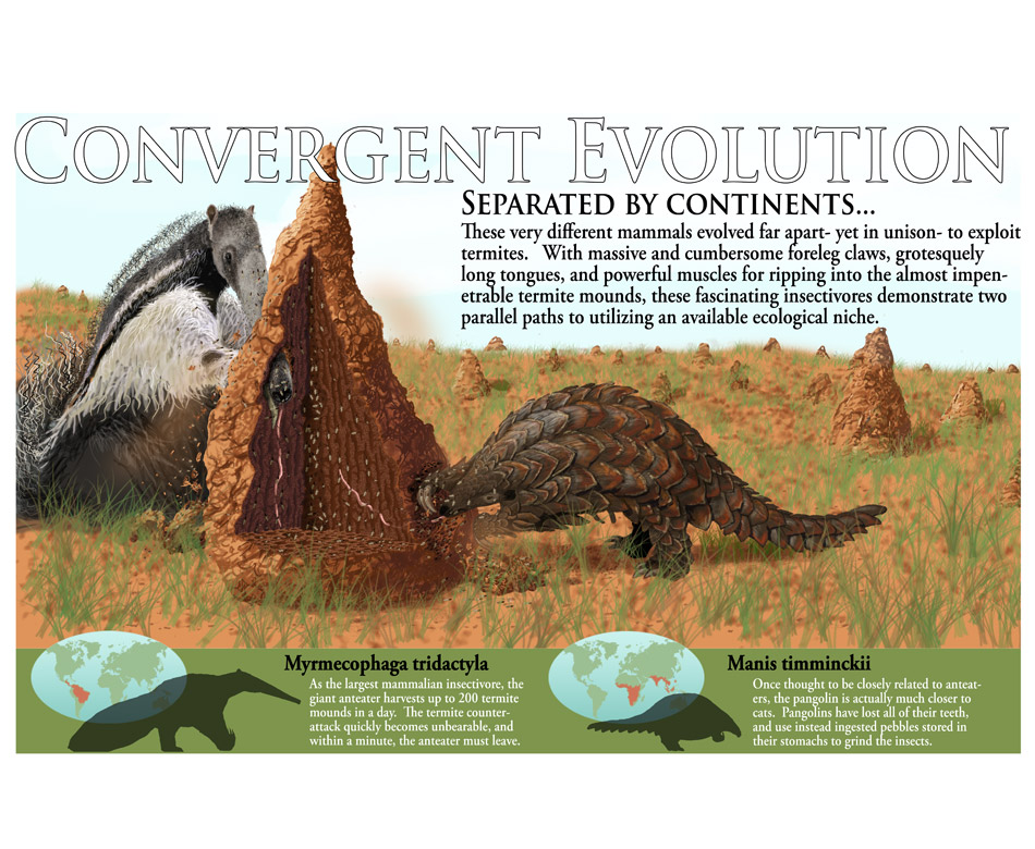 illustration showing convergent evolution of old and new world termite eaters